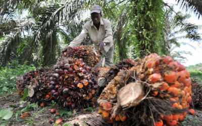 "Press release: The harmful impact of the palm oil sector is once again exposed in an investigation into the so-called ""ethical"" investments."